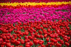 Tulip Field Scenic Landscape Vibrant Spring Background With Colorful tulips stock images
