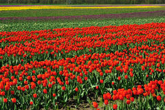Tulip field in sea bird island Stock Images