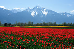 Tulip field in sea bird island Stock Image