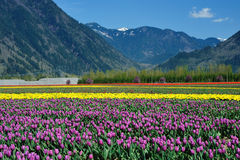 Tulip field in sea bird island Royalty Free Stock Photos