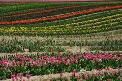 Tulip field in sea bird island Royalty Free Stock Image
