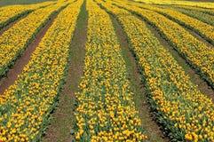 Tulip field in sea bird island Royalty Free Stock Photography