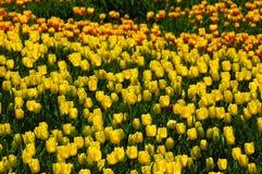 Tulip field in sea bird island Royalty Free Stock Images