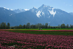 Tulip field in sea bird island royalty free stock photography