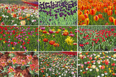 Tulip field set Stock Image