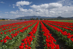Tulip Field in Skagit Valley Stock Photography