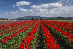 Tulip Field in Skagit Valley Stock Photography
