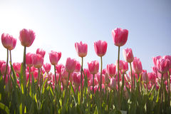 Tulip field with sky Stock Photography