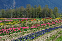 Tulip field in spring Stock Photos