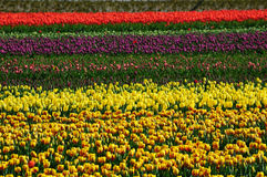 Tulip field in spring Stock Image