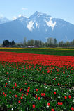Tulip field in spring stock photography