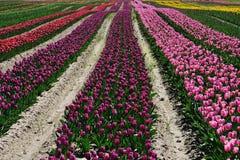 Tulip field in spring stock photo