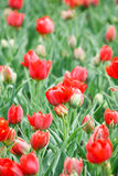 Tulip field in spring Royalty Free Stock Image