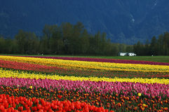 Tulip field in spring. Rainbow of tulips in the field in spring royalty free stock photography