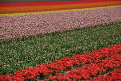 Tulip field in spring. Typical dutch scenery in spring: tulips ins all colors royalty free stock photos
