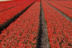 Tulip field in spring, Holland Royalty Free Stock Photos