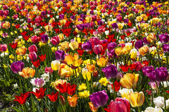 Tulip field in spring, Lower Saxony, Germany Stock Photo