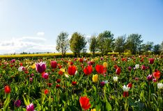 Tulip field in the Spring time Royalty Free Stock Photos