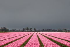 Tulip field before the storm. A pink tulip field in the Netherlands just before a snow storm in spring stock images