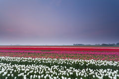 Tulip field at sunset in spring. Holland Royalty Free Stock Photo