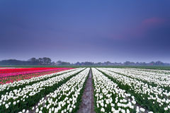 Tulip field at sunset. In spring, Netherlands Stock Images