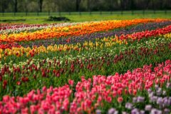 Tulip Field sur l'île Hollande, Michigan de moulin à vent images stock