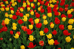 Tulip field. Taken in longwood gardens, near kennett square PA Stock Photos