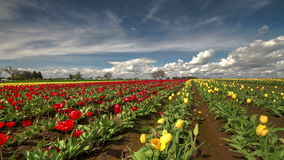 Tulip field time lapse with clouds. This is a time lapse video of a large tulip field with clouds passing over sky stock video footage