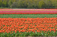 Tulip field and tourists Royalty Free Stock Photography