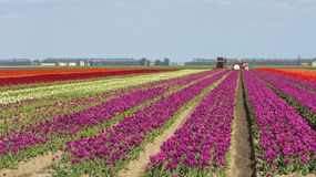Tulip field with a tractor Stock Photos