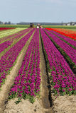 Tulip field with a tractor Royalty Free Stock Image