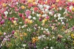 Tulip field Tulipa Stock Photos