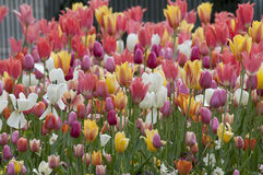 Tulip field Tulipa Stock Image
