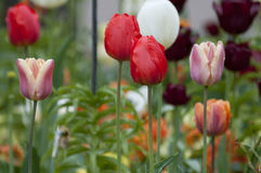 Tulip field Tulipa Royalty Free Stock Photography
