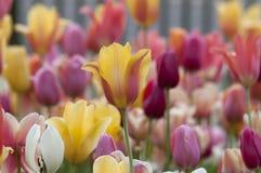 Tulip field Tulipa Stock Images
