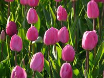 Tulip Field, Tulips, Pink Royalty Free Stock Photography