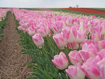 Tulip field. Tulips field with pink and white blossoms Royalty Free Stock Photo
