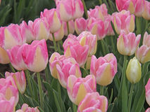 Tulip field. Tulips field with pink and white blossoms Stock Photos