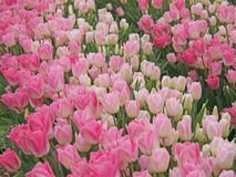 Tulip field. Tulips field with pink and white blossoms Stock Photo