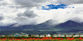 Tulip field under cloud sky with mountain background, Furano, Ho Royalty Free Stock Image