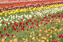 Tulip Field variopinta in Holland Michigan in primavera Fotografia Stock Libera da Diritti