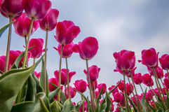 Tulip Field. A view from below of a tulip field Royalty Free Stock Image