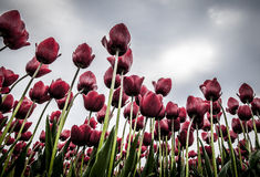 Tulip Field. A view from below of a tulip field Royalty Free Stock Photography