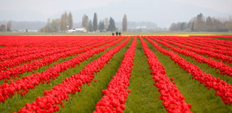 Tulip field in Washington state Royalty Free Stock Image