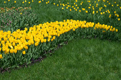 Tulip field, wave of yellow flowers. Royalty Free Stock Photos