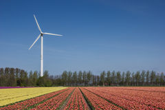 Tulip field and wind turbine Royalty Free Stock Photo