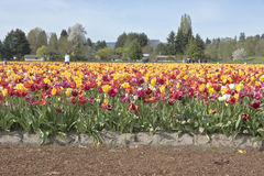 Tulip field in Woodland Washington. Stock Image