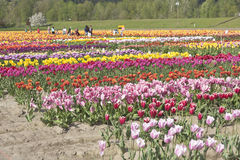 Tulip field in Woodland Washington. Stock Photo