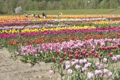 Tulip field in Woodland Washington. Stock Photo