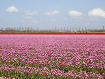 Tulip field with working people Stock Image